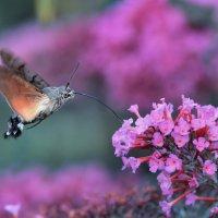 Колибри среди насекомых :: Лилия .
