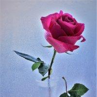 Роза на голубом :: Людмила