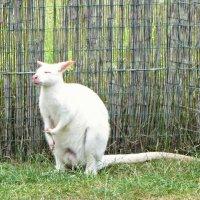 Медитация ), кенгуру-альбинос :: veera (veerra)