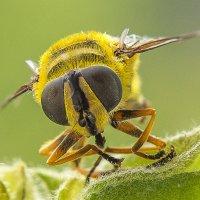 Пчела :: Виктор Добрянский