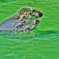Голосует наш тюлень!) :: Aida10