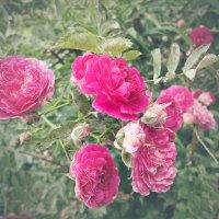 Майская роза :: Виктория Власова