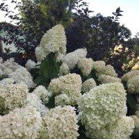 Гортензии цветут :: minchanka