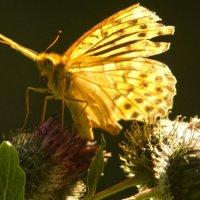 Бабочка :: Валерий