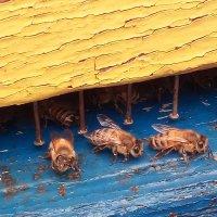 Пчелы :: Evgeniy Akhmatov