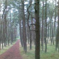 Танцующий лес. Куршская коса :: Валентина Дмитровская