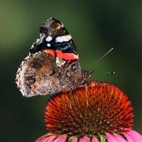 Бабочка и цветок :: Виктор Колмогоров
