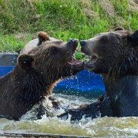 Весёлые купания медведей :: Татьяна Каневская