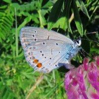 *Голубянка короткохвостая. :: vodonos241