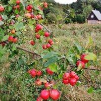 Вот и яблочки  почти созрели.. :: Aida10
