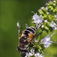 Пчёлка :: Андрей Медведев