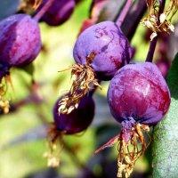 Урожай с яблоньки Недзвецкого :: Raduzka (Надежда Веркина)