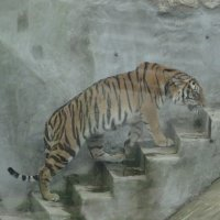 Амурский тигр :: Наташа