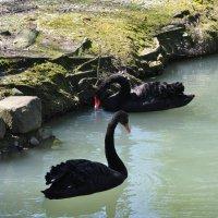 А это черный лебедь. Не менее красивый и изящный, чем белый :: Людмила