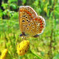 Голубянка бурая :: vodonos241
