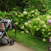 Парад цветов - гортензия цветёт. :: Татьяна Помогалова