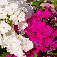 Флоксы - два цвета лета... :: Генрих