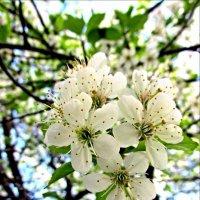 Цветы вишни :: Leonid Tabakov
