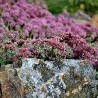 Цветы на камнях :: Яша Баранов