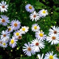 Сентябринки цветут . :: Мила Бовкун