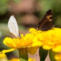 Бабочки :: Александр Синдерёв