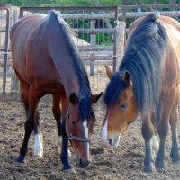 Гнедые лошади :: Юлия Ошуркова