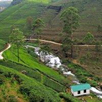 Плантации чая в Нувара Элия :: ИРЭН@ .