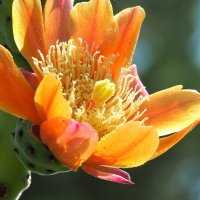 Опунция войлочная  Opuntia tomentosa :: Swetlana V