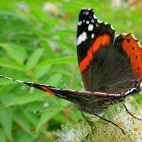 Бабочки летают :: OLLES