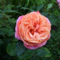 Сколько шарма, прелести,изыска. Сколько силы в царственном цветке. :: Люба