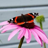Из жизни бабочек: планер... :: Елена Митряйкина