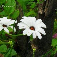 Две подружки над клумбой парят :: Daria Vorons