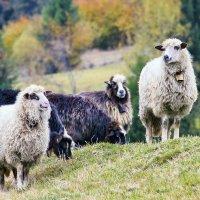 Бедные овечки :: Alexandеr P