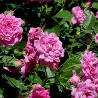 Розовый куст :: Нина Бутко