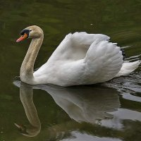 Белый лебедь на пруду.... :: igor G.