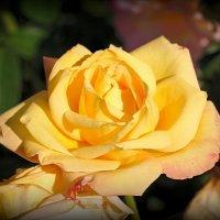 Золотится роза чайная... :: Андрей Заломленков
