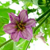 Цветок баклажана :: Анастасия Рысь