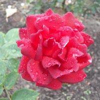 Розы и слёзы :: Регина Пупач