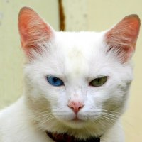 Снежный кот :: Анастасия Рысь