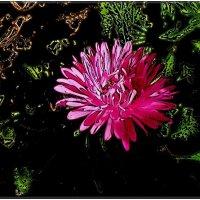 Розовая астра :: Нина Корешкова