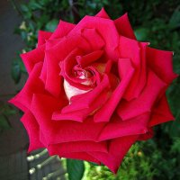 красная роза - эмблема любви... :: Александр Корчемный
