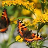 Бабочки крапивницы :: Vlad Сергиевич