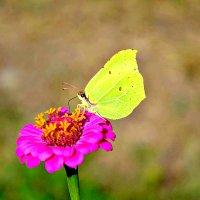 Бабочка. :: Михаил Столяров