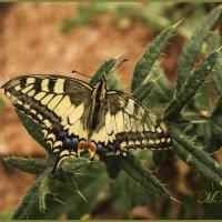 """Бабочка на кактусе"" :: Марина Никулина"