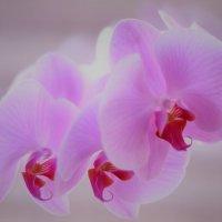 Орхидея. :: Лариса Красноперова