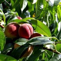 Персики созрели... :: Aлександр **