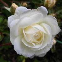 роза :: Lyudmila