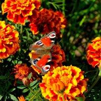 Павлиний глаз среди цветов. :: Александр Зуев