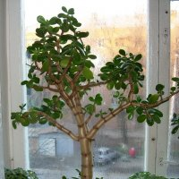 Денежное дерево (Толстянка) :: татьяна