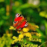 Бабочки 1. :: Александр Зуев